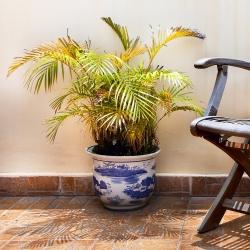 Bibit kelapa sawit - 5 biji - Phoenix