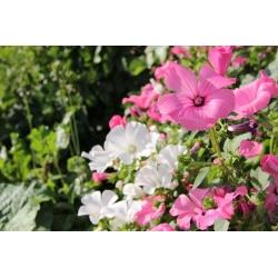 Mallow hàng năm - lựa chọn giống; rêu hoa hồng, rêu hoàng gia, rêu vương giả - 150 hạt - Lavatera trimestris