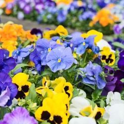 Võõrasema - segu - 600 seemned - Viola x wittrockiana