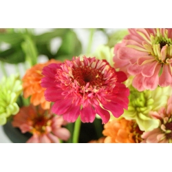 Scabiosa-flowered Zinnia - a selection of varieties - 120 seeds