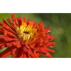 Cactus zinnia - magkeverék - 120 mag - Zinnia elegans cactaflora - magok