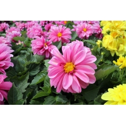 Garden dahlia - semi-double flower variety mix - 120 seeds