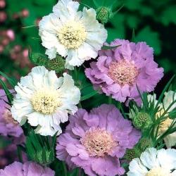 Hoa pinc Muff da trắng - lựa chọn đa dạng; hoa pinc Muff, scabiosis da trắng - 21 hạt - Scabiosa caucasica