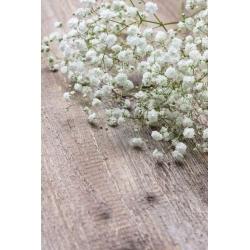 Detský dych, obyčajná gypsophila, spanikal dych dieťaťa - 1400 semien - Gypsophila paniculata - semená