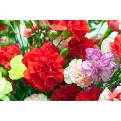 Jareka - pemilihan pelbagai; merah cengkeh - 275 biji - Dianthus caryophyllus - benih