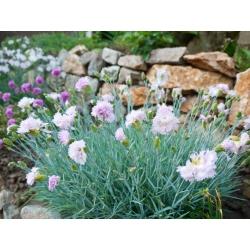 Common pink - variety mix; garden pink, wild pink - 140 seeds