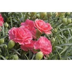 Aednelk - Szabo - segu - 275 seemned - Dianthus caryophyllus