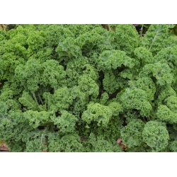 Кудрявая капуста - Halbhoher grüner krauser - 300 семена - Brassica oleracea L. var. sabellica L.
