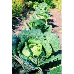 Savoia kapsas - Vertus 2 - 640 seemned - Brassica oleracea var. sabauda