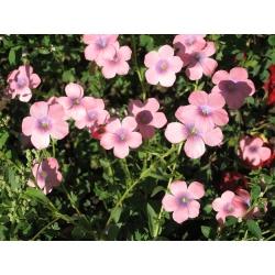 Scarlet Flax Bright Eyes magok - Linum grandiflorum - 300 mag