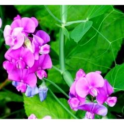 Семена вечнозеленого гороха широколиственные - Lathyrus latifolius - 36 семян - семена