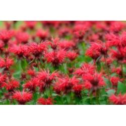 Crimson beebalm - variety mix; Scarlet beebalm, Scarlet monarda, Oswego tea - 180 seeds