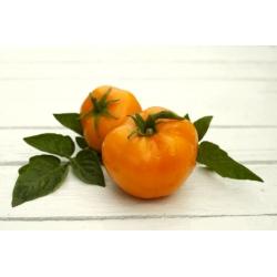 Tomat - Złoty Ożarowski - 80 seemned - Lycopersicon esculentum Mill