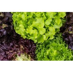 Лату́к посевной - смесь - 450 семена - Lectuca sativa