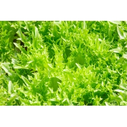 Jääsalat - Regina Dei Ghiacci - 475 seemned - Lactuca sativa L.