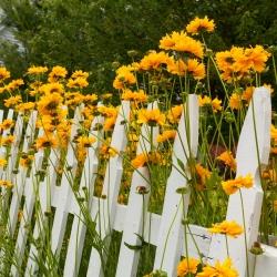 False Sunflower, Summer Sun seeds - Heliopsis scabra - 125 seeds