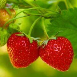 Strawberry Tresca seeds - Fragaria ananassa - 60 seeds