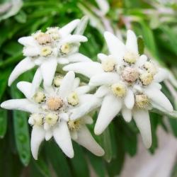Semena protěže - Leontopodium alpinum - 750 semen