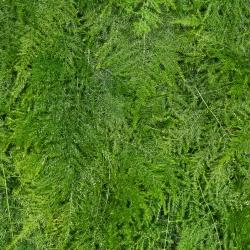 سرخس الدانتيل ، تسلق بذور الهليون - الهليون البرقوق نانوس - 13 بذور - Asparagus plumosus. - ابذرة