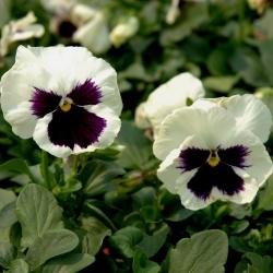 Hercai Menekşe Silverbride tohumları - viola x wittrockiana - 400 tohumlar