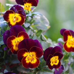 Dev Kahverengi Pansy tohumları - Viola x wittrockiana - 320 tohumları