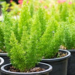 Măng tây, hạt măng tây đen - Măng tây măng tây - 10 hạt - Asparagus densiflorus