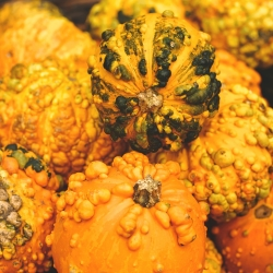 Warty Ornamental Gourd mixed seeds - Cucurbita pepo - 30 seeds