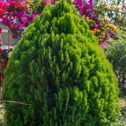 Lawson Cypress magok - Chamaecyparis lawsoniana - 100 mag