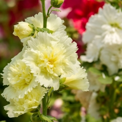 Hollyhock Summer Carnival Mix semená - Althaea rosea - 50 semien - Althaea rosea Summer Carnival