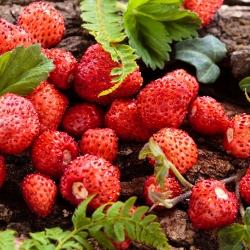 Wild Strawberry Attila seeds - Fragaria vesca - 330 seeds
