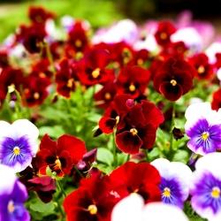 Pansy vườn hoa lớn - đỏ với chấm đen - 400 hạt - Viola x wittrockiana