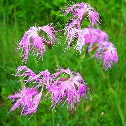 Large Pink, Dianthus Superbus mix seeds - Dianthus superbus - 280 seeds