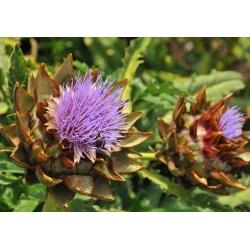Семена кардона - Cynara cardunculus - 25 семян - Cynara cardunuculus Bianco avorio - семена