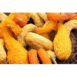 Yellow Crookneck Squash seeds - Cucurbita pepo - 15 seeds