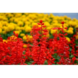 Tropical sage - red - 140 seeds