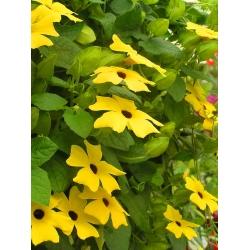 Тунбергия крылатая - желтый - 17 семена - Thunbergia alata