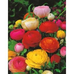 Ranunculus, Buttercup Tomer Mix - 10 bulbs
