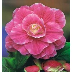 Begonia różowo-biała - Camellia
