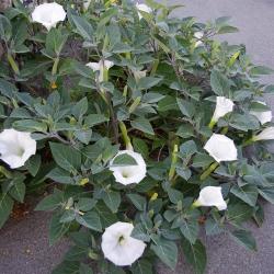 White Devil's trumpet; metel - 28 seeds