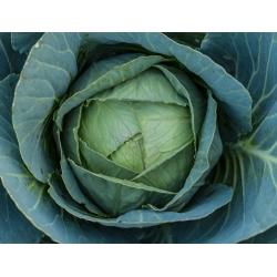 Peakapsas - Kalina - valge - 300 seemned - Brassica oleracea convar. capitata var. alba