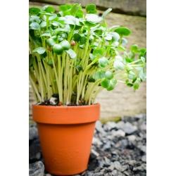 Magok a hajtásokhoz - barna mustár (Brassica juncea) - 12000 mag -