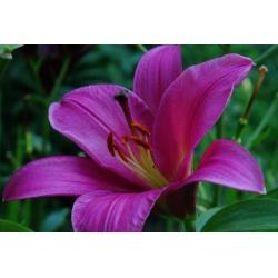 Pohon Lily Lilium Purple Prince - umbi / umbi / akar