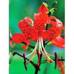 Lilium, Lily Red Tiger - žiarovka / hľuza / koreň - Lilium Red Tiger