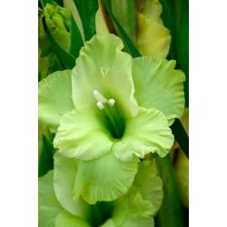 Gladiolas Green Star - 5 gab. Iepakojums - Gladiolus Green Star