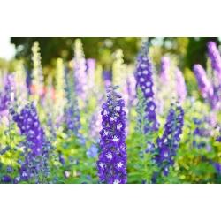Garden larkspur - variety mix - 175 seeds