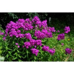 Sügisel phlox, aiaflooks, mitmeaastane phlox, suvel phlox - 100 seemet - Phlox paniculata - seemned