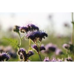 لاسي فاسيليا - 50 غرام من البذور لزراعة المحاصيل - 30000 بذور - Phacelia tanacetifolia - ابذرة