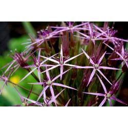 Allium christophii - 5 bulbs