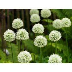 Allium Mont Blanc - củ / củ / rễ