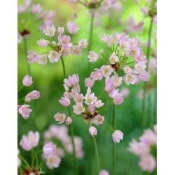 mawar bawang putih - 20 bebawang -  Allium Roseum